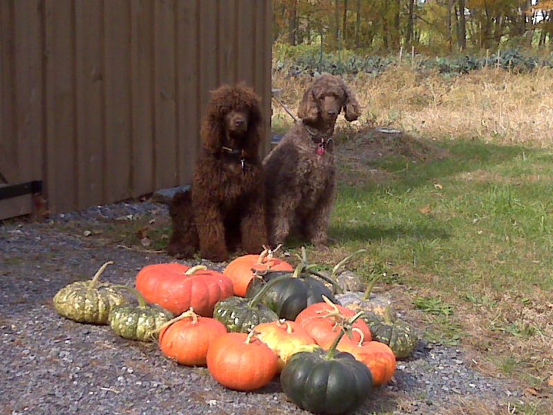 dash and luna pumpkins Oct 2010